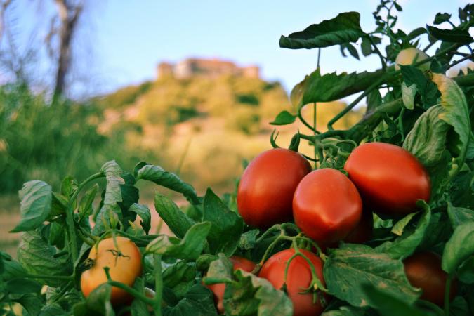 El proyecto Harnesstom persigue mejorar la calidad del tomate desde la semilla