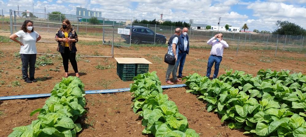 Proyecto Newcotiana, plantas de tabaco como biofactorías