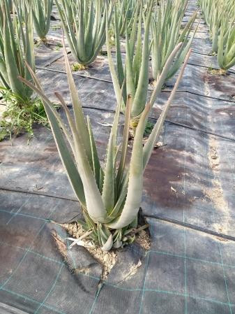 Aloe vera cultivo