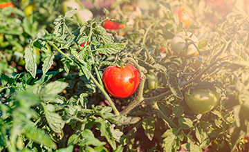 Observatorio Tecnológico del Tomate